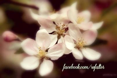 appleblossoms.FB