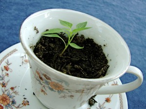 plant growing in teacup
