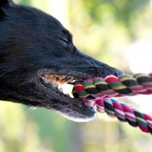 black-dog-tug-of-war